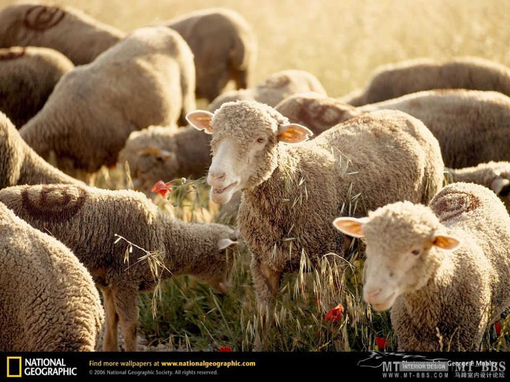 国家地理图片珍藏全集2007_alps-sheep-199046-lw.jpg