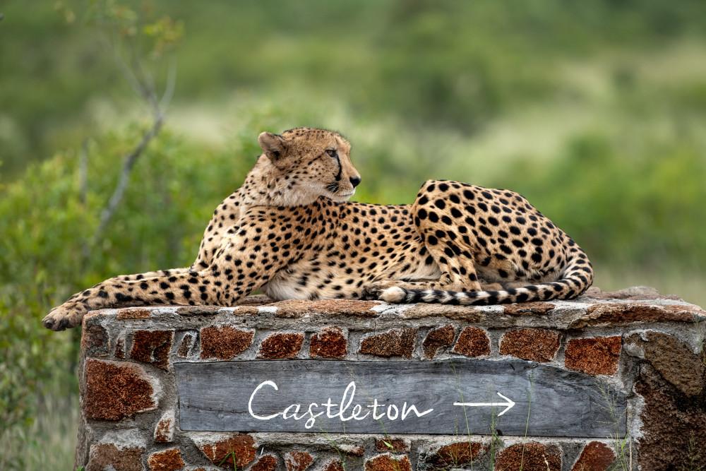 Cheetah-at-Singita-Castleton.jpg