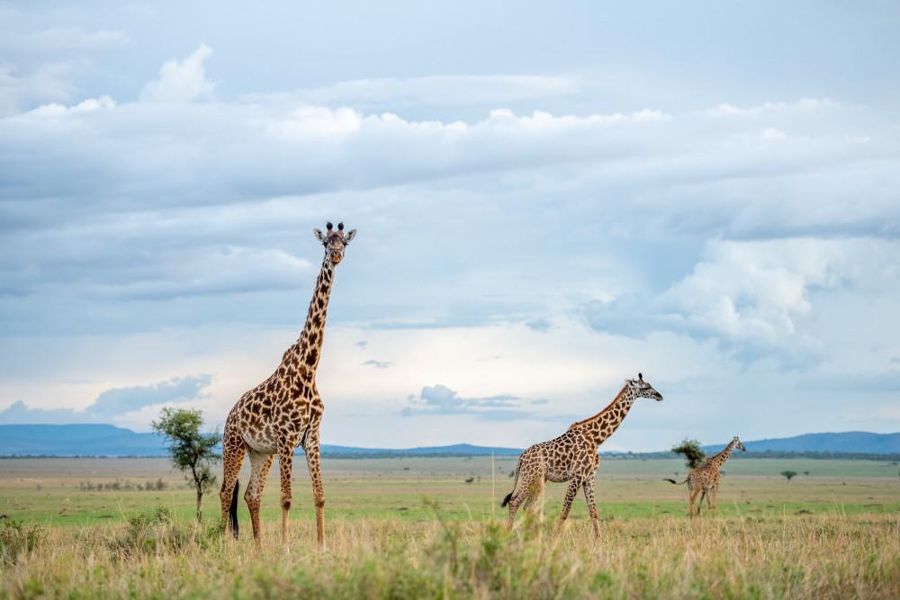 Giraffe_SingitaGrumetiReserve_RossCouper3.jpg