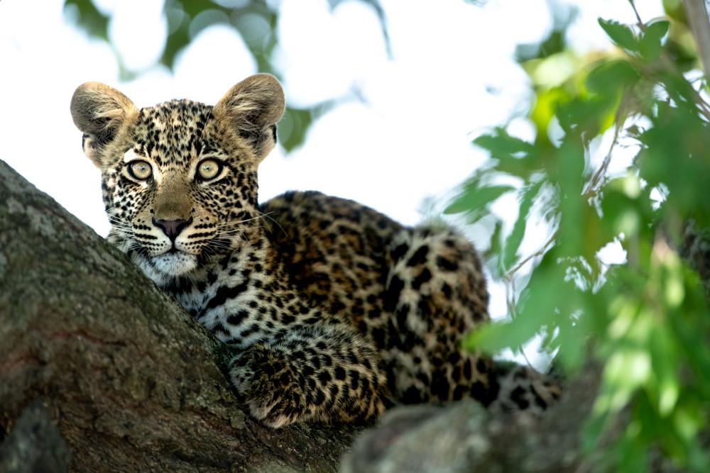 Leopard_RossCouper19.jpg