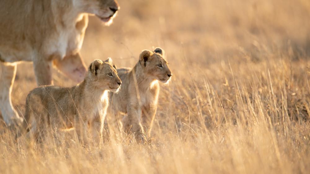 Lion_RossCouper6.jpg