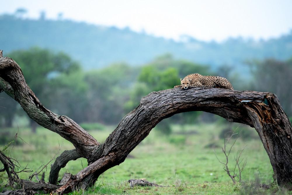 Lion_SingitaGrumetiReserve_RossCouper21.jpg