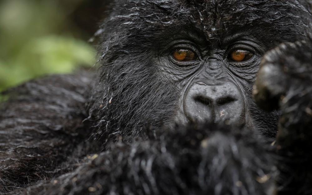 SingitaKwitondaLodge-Gorilla2-B39I0282.jpg